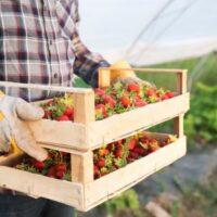 Farmer_Strawberries